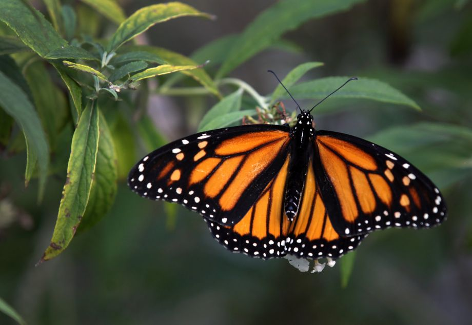 State Comptroller approves $300,000 to investigate monarch decline