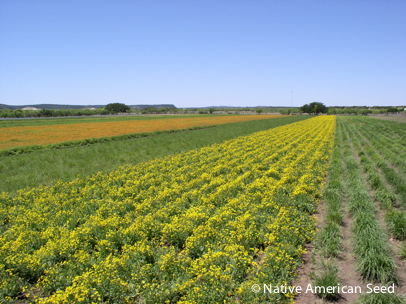 Nurseryman Bill Neiman harvests native seed to restore Texas prairies