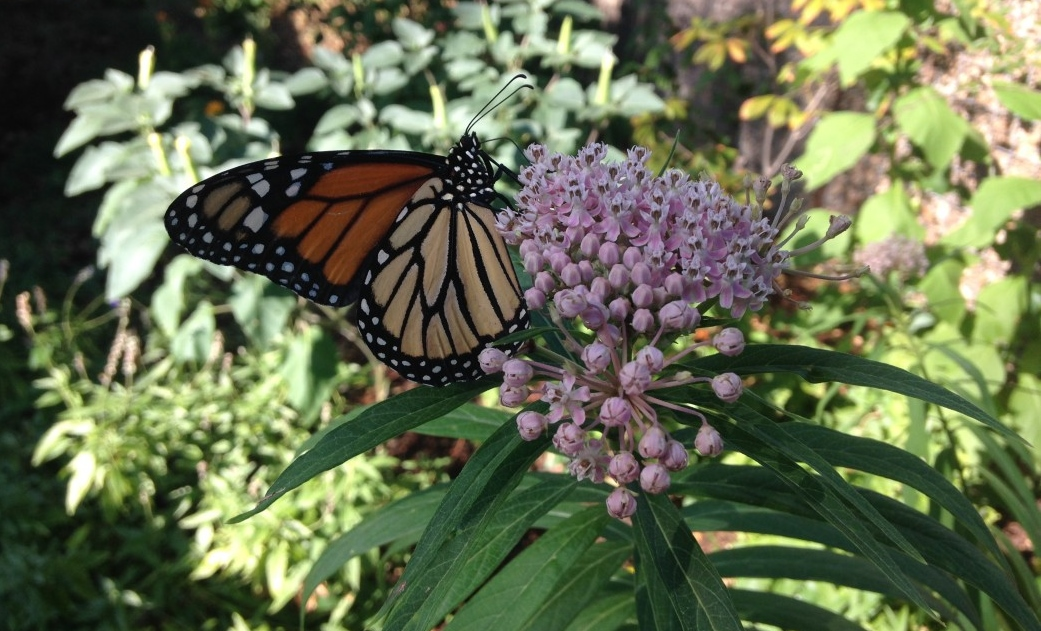 NWF Names San Antonio First Monarch Butterfly Champion City