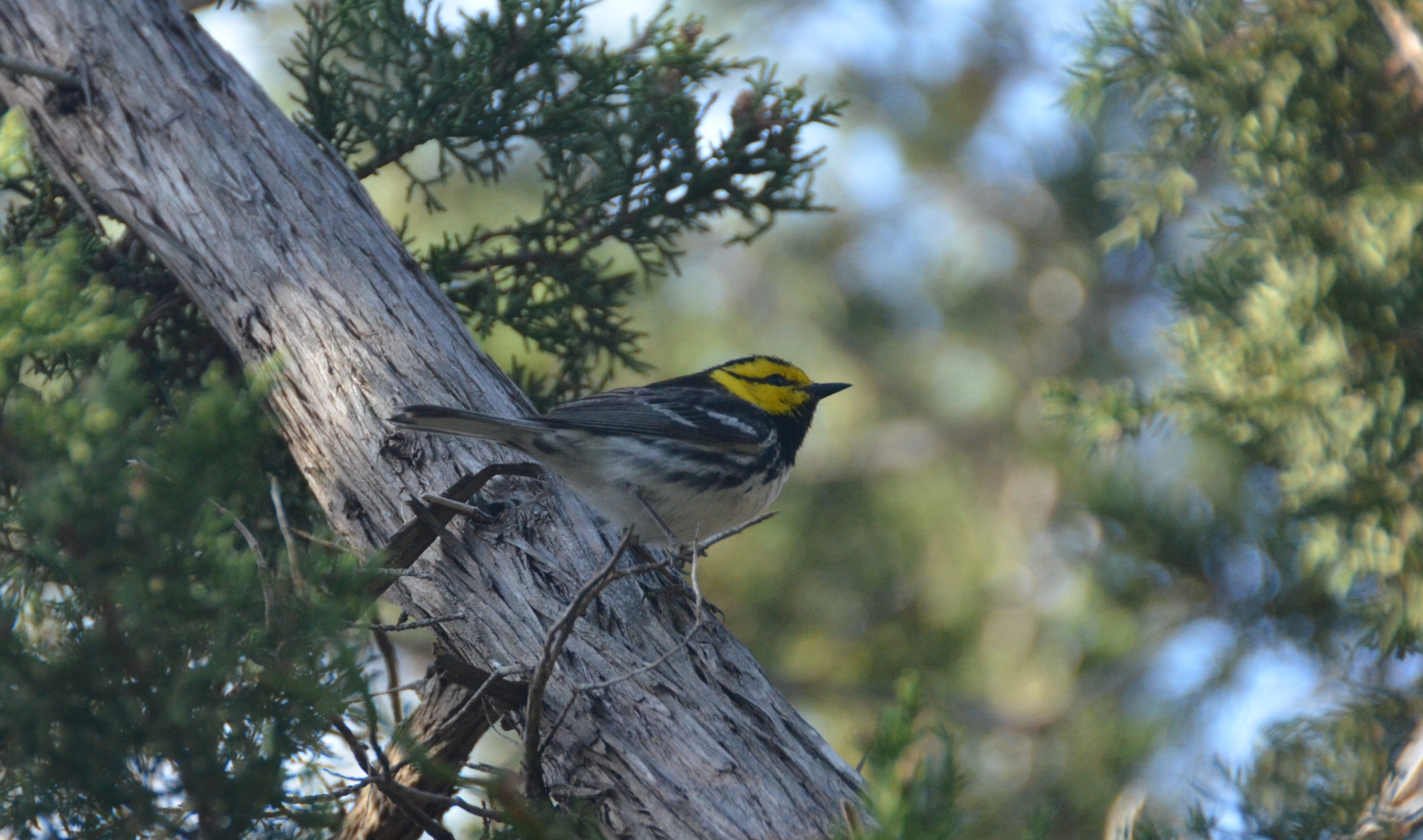 Golden-cheeked Warblers return to the Hill Country