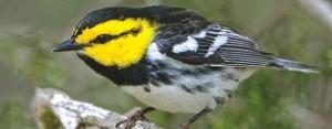 C_Impact Golden-Cheeked Warbler