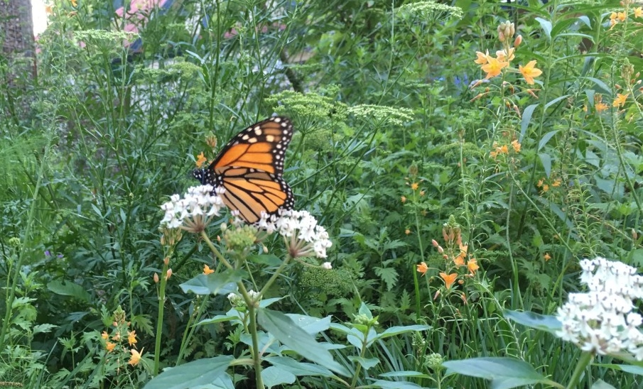 San Antonio Plots Monarch Butterfly Conservation Plan