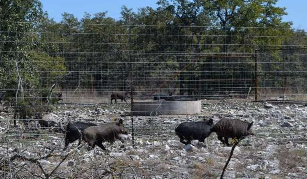 Efforts to reduce feral hog numbers show promise