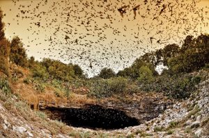 The Rainwater Revival Raffle offers an opportunity for ten people to witness the rare experience of more than 15 million Mexican free-tailed bats emerging from the Bracken Cave.