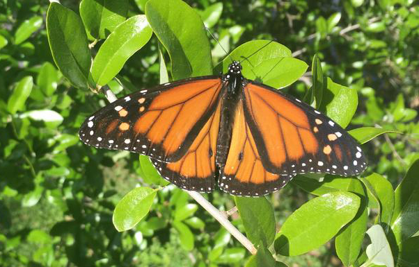 How to help monarch butterflies without accidentally luring them to their deaths
