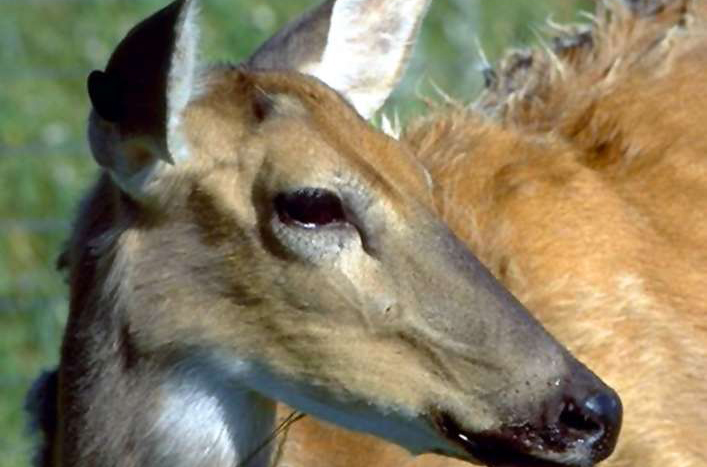 Chronic wasting disease found for first time in wild Texas white-tail deer