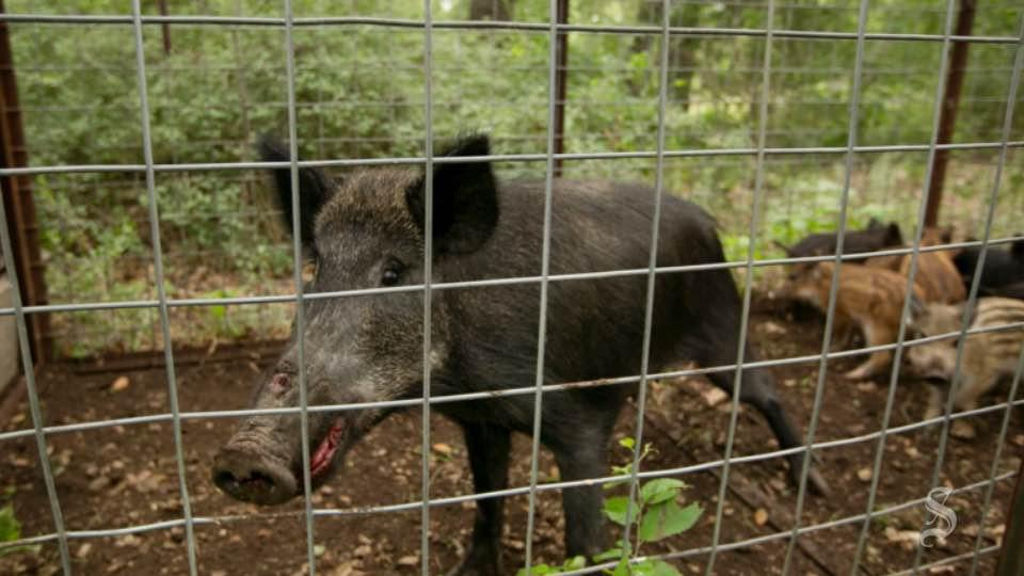 Judge blocks rule change allowing feral hog poisoning