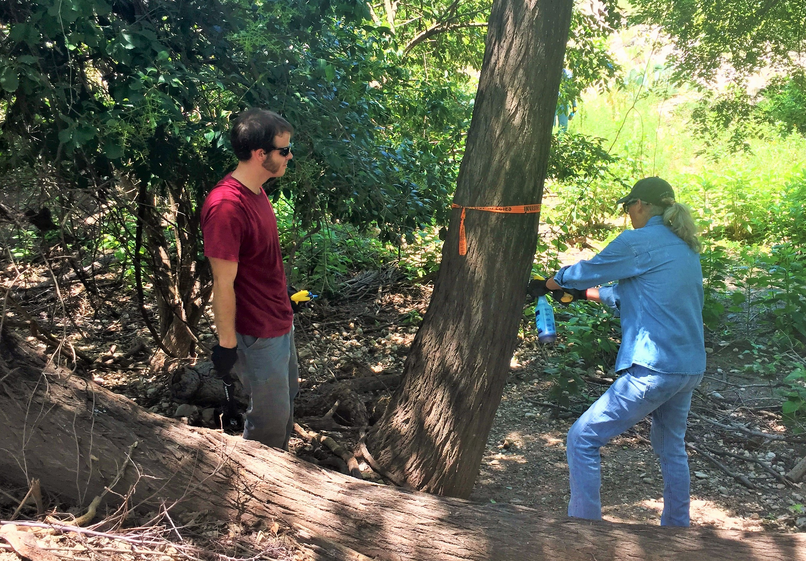 Volunteers and Partners Work to Control Invasive Chinaberry Trees Along Llano River