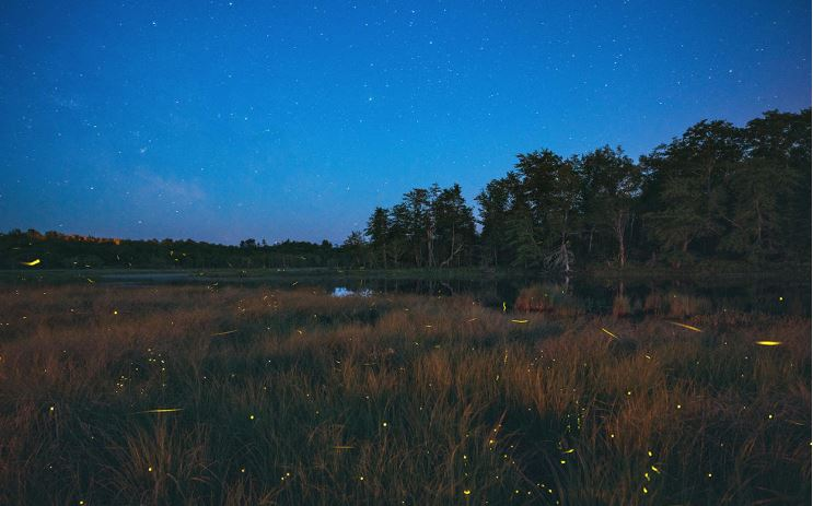 The flight of the Texas fireflies
