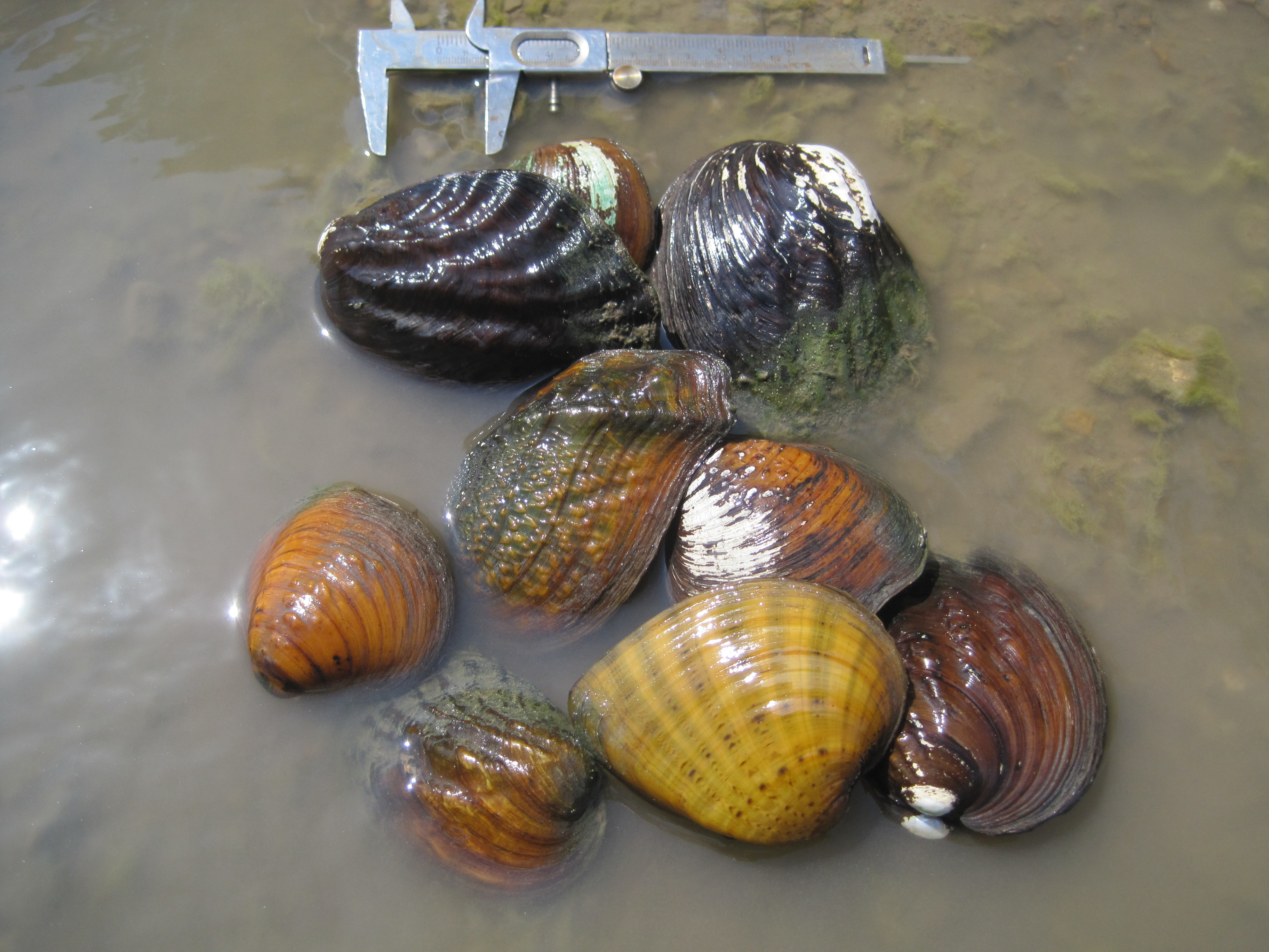State-funded studies help federal agency remove two mussels from endangered species candidate list