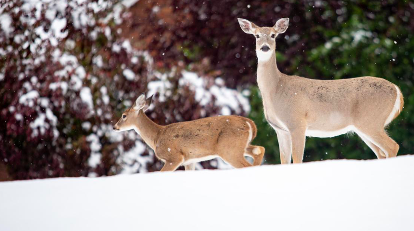 New research sheds light on lunar phase impact on white-tailed deer