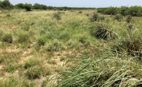 Efforts encouraging Texas ranchers to restore native grasses show promise