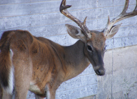 Val Verde County white-tailed deer tests positive for Chronic Wasting Disease
