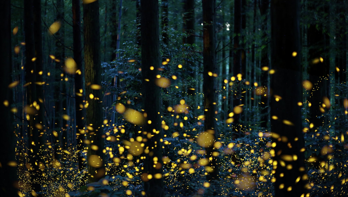 Fireflies have a mating problem: The lights are always on