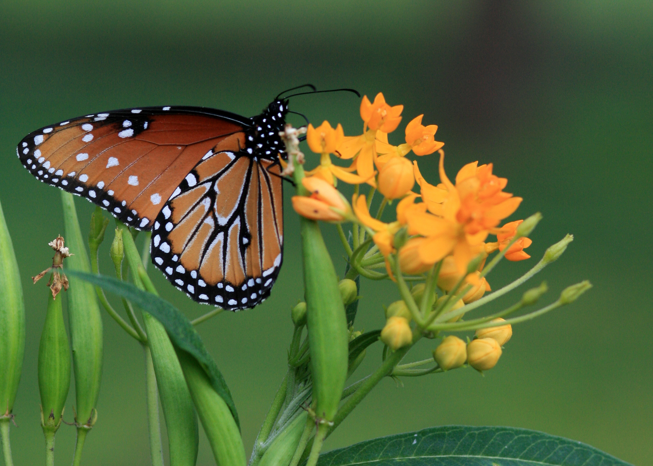 Eastern monarch butterfly population plunges below extinction threshold