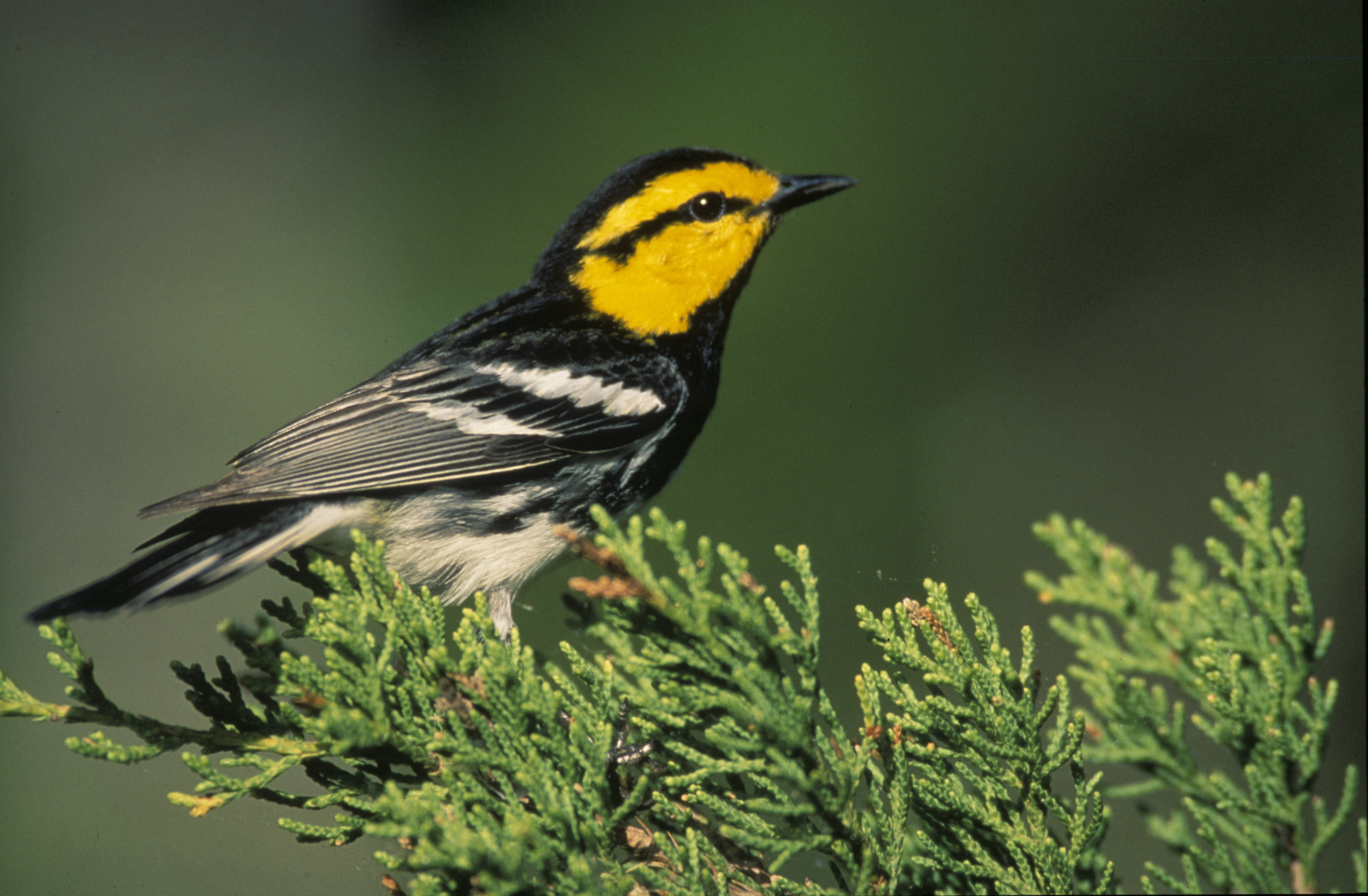 Threat to Tiny Golden-Cheeked Warbler Is Disputed in Texas
