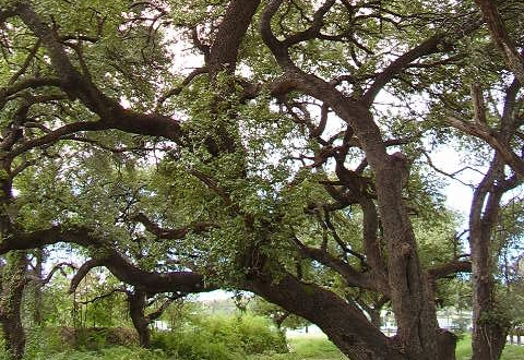 Rally to save the trees of Oak Hill, this Saturday