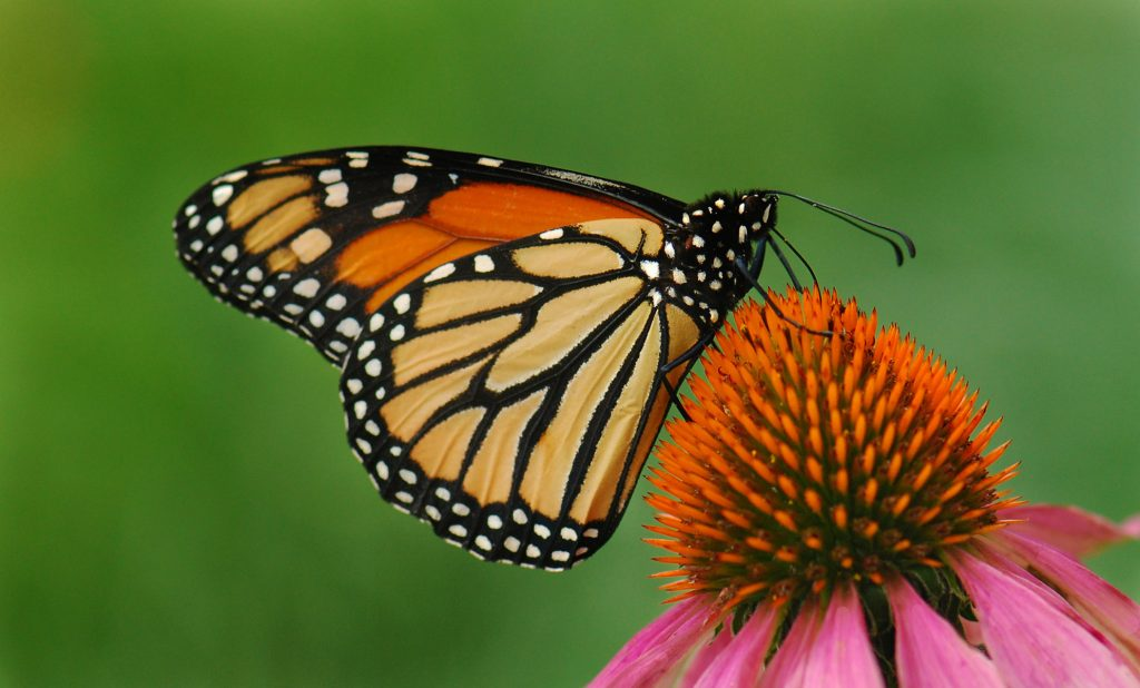 9425 - Monarch and Coneflower