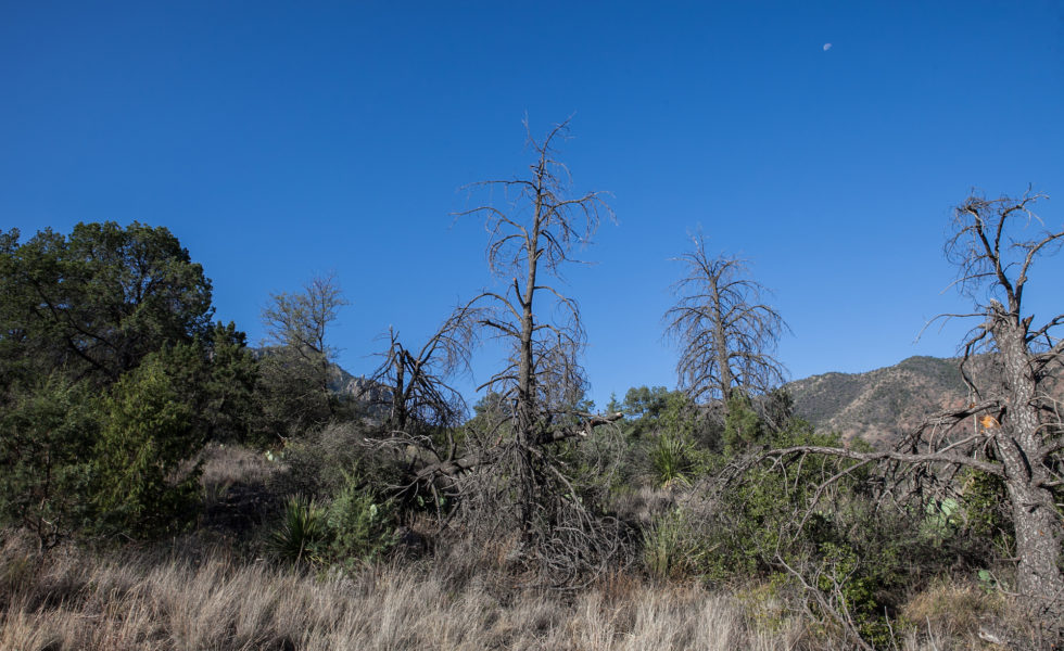 Pine Trees In The Chisos Mountains Of Big Bend National Park Are Key To The Ecosystem That Requires Shade And Shelter. A Drought In 2011 Killed Off A Great Number Of  Pine Species That Have Yet To Recover. Pictured Are Dead Pinyon Pines Near Boot Canyon On June 25.