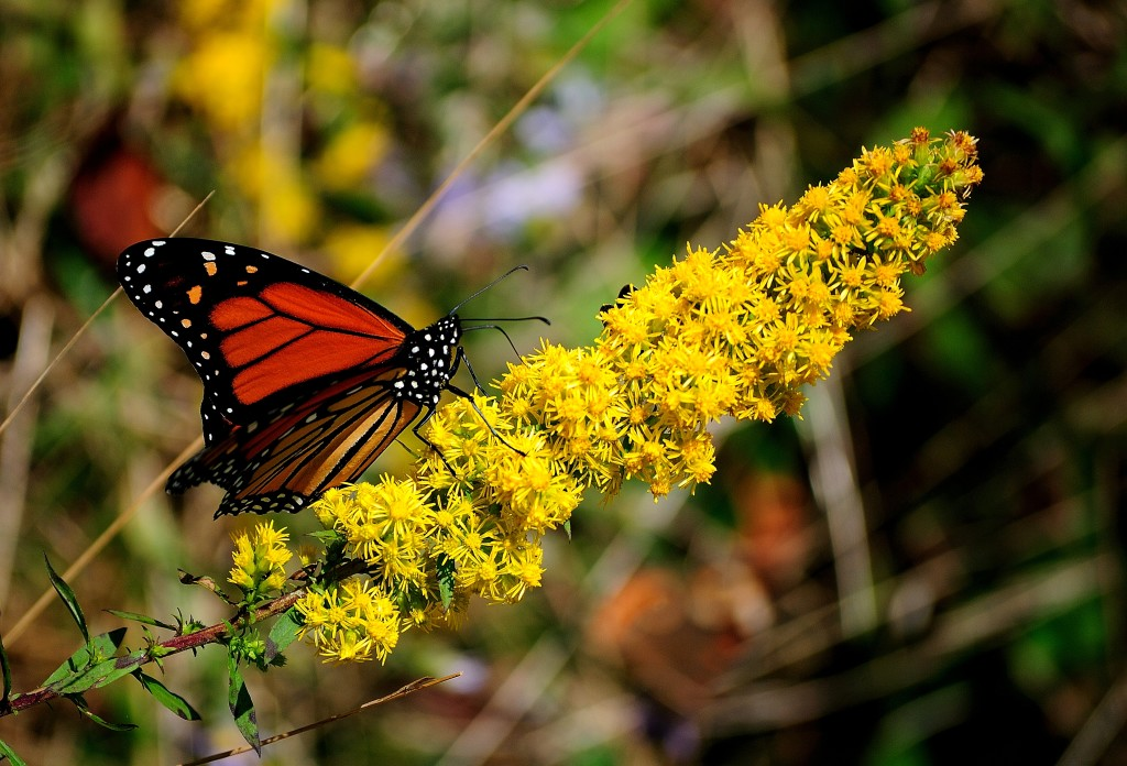 Monarch Butterfly, Pollinator Festival to Fly into the Pearl