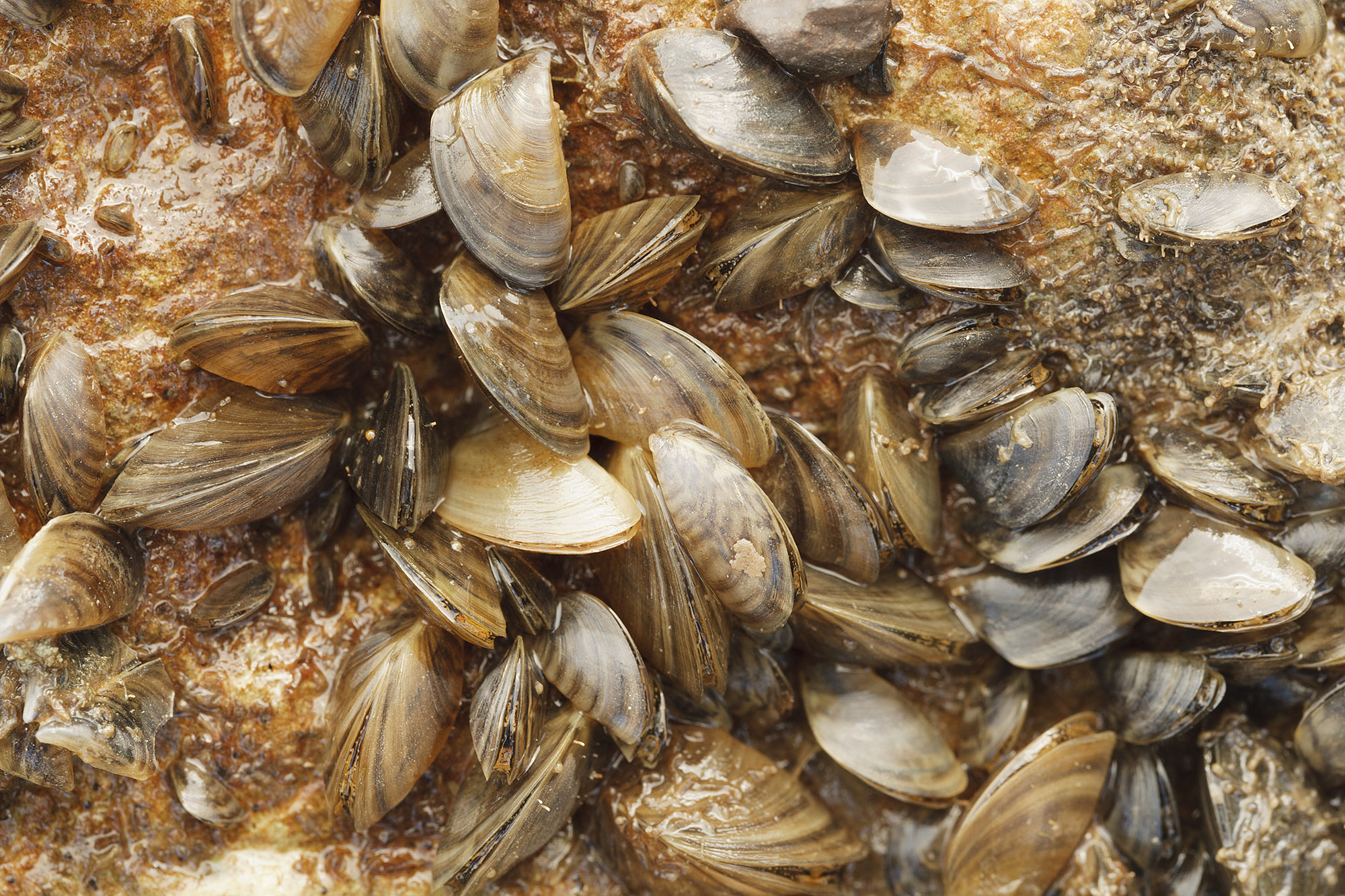 Zebra Mussels Spreading at Lakes Georgetown, Livingston
