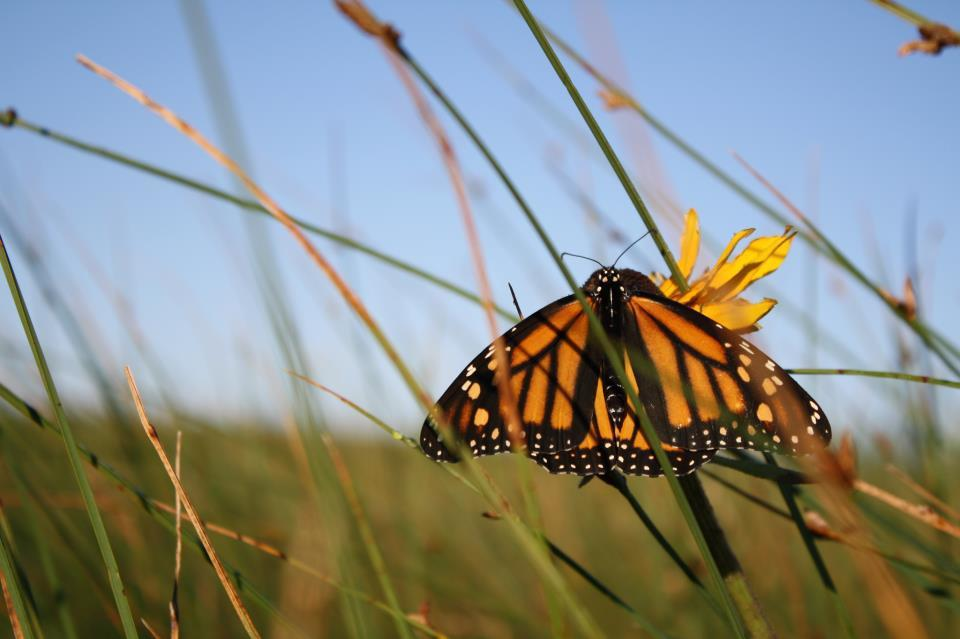 Can The Monarch Highway Help Save A Butterfly Under Siege?
