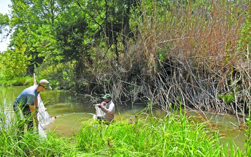 Invasive cane continues to plague land on creeks