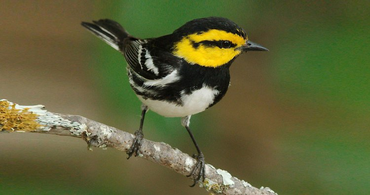 Whither the Warbler's habitat?