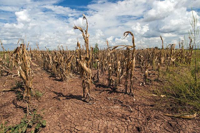 Tx Cornfield Drought 2013