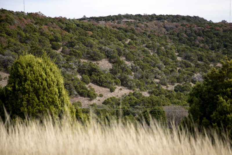 Mountain Cedar's Cover The Hills Of West Austin And Characterize Much Of Texas's Hill Country.