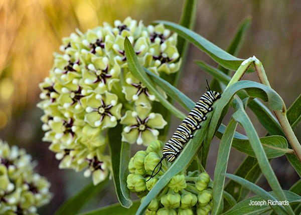"""Monarch And Milkweed"""