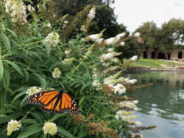 Weird, late monarch butterfly migration finally reaches Mexico