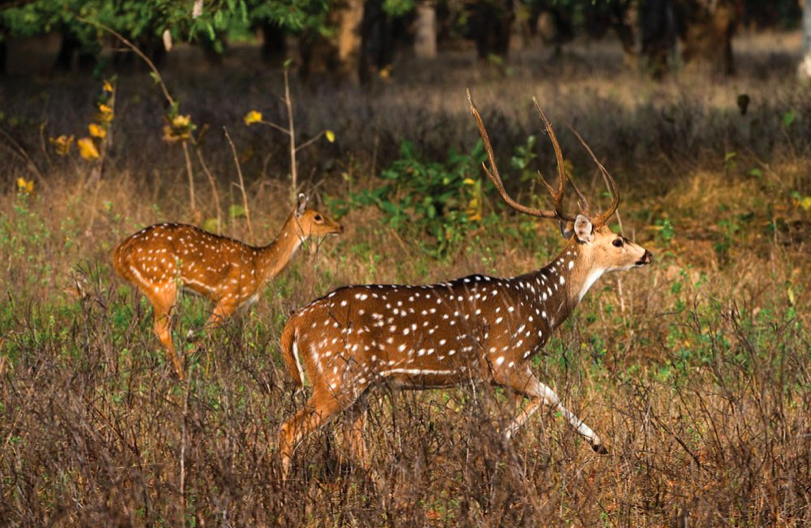 Will exotics wipe out whitetails?