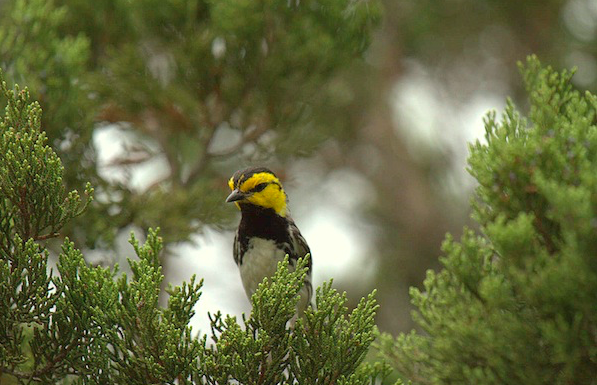 Judge rules Golden-cheeked Warbler should stay on endangered species list