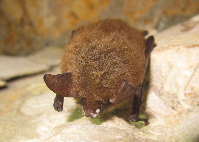 White Nose Syndrome is a 'looming disaster' for bats in Texas