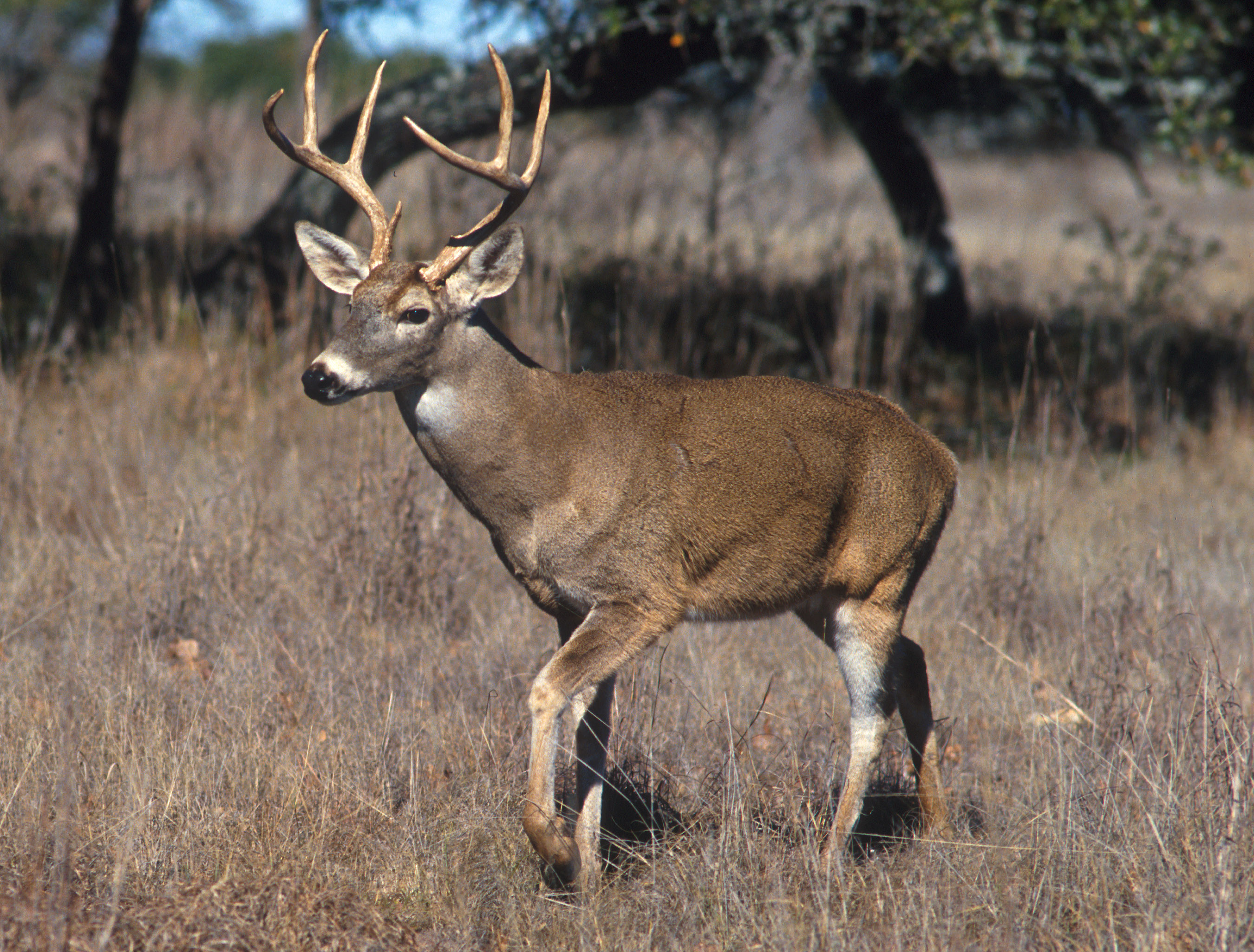 CVM researcher develops tool to improve Chronic Wasting Disease resistance in white-tailed deer
