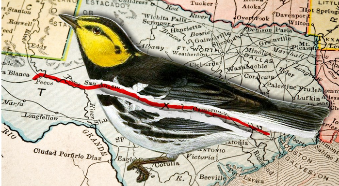 What's in the way of this Texas pipeline? A cute songbird