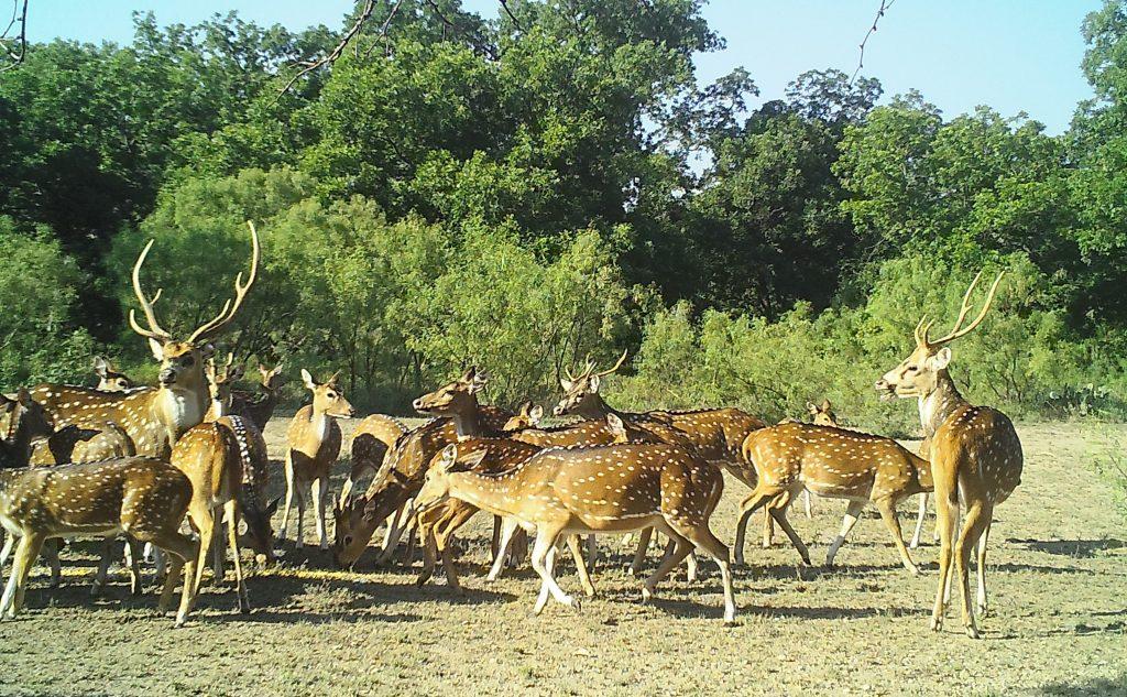 Field full of Axis deer