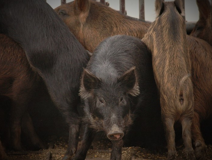 Wild pigs increase their urban and suburban area sprawls