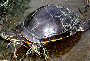 Western Chicken Turtle – Texas Comptroller