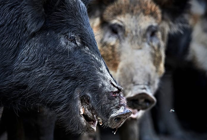 Swine country: How feral pigs took over the U.S.