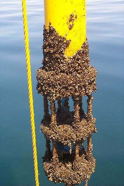 Zebra Mussels On Buoy