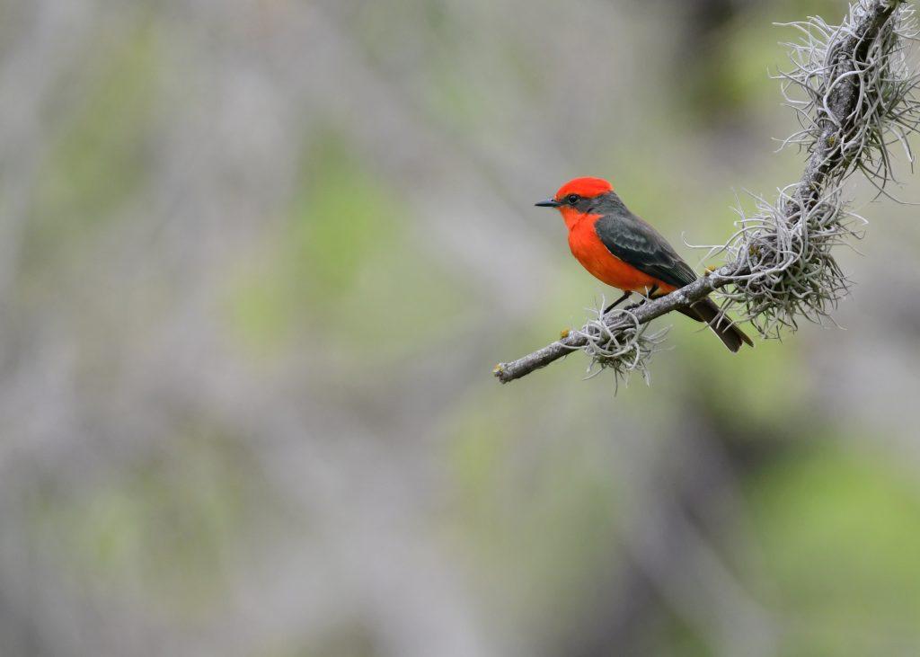 Male vermillion flycatcher perches on a branch