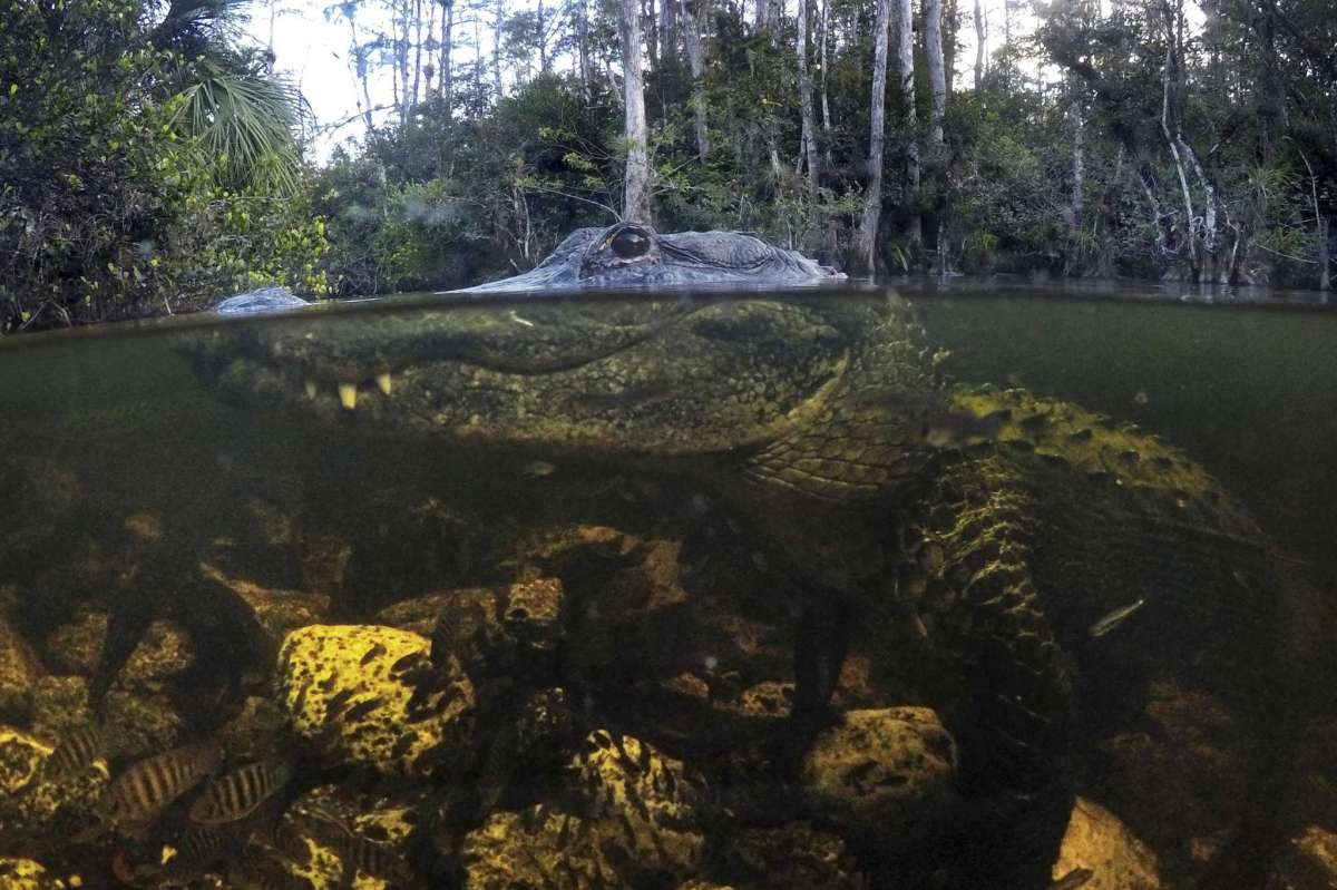 An Alligator Prowls The Waters In The Big Cypress National Preserve In Florida - Robert F. Bukaty/AP