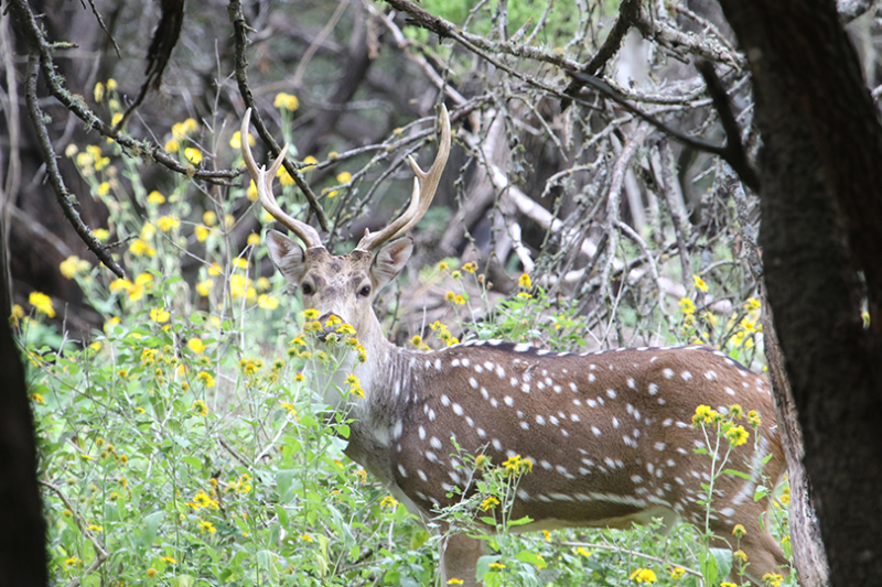 Axis Deer Management Project Underway In Hill Country