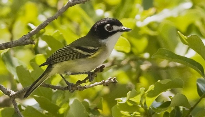 Black-capped Vireo Perching In Tree