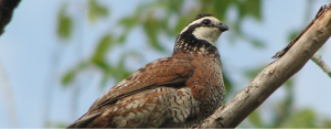 bobwhite quail on a branch