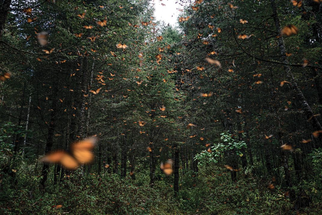 Butterflies Fly In A Forest