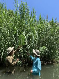 Two men stand looking at a large Arundo donax plant, invasive to the hill country