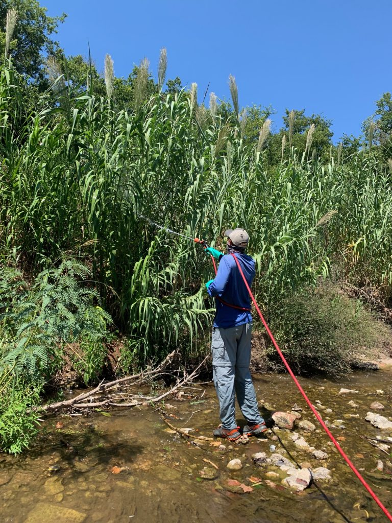 A man stands in a creek treating invasive Arundo donax as part of ongoing removal efforts